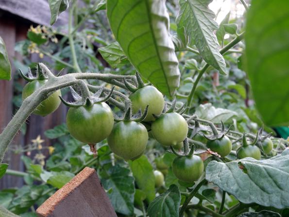 TomatoJumping
